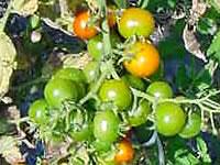 キャンドルの農園 トマト