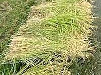 刈り取られた稲