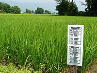 減減栽培の田んぼ